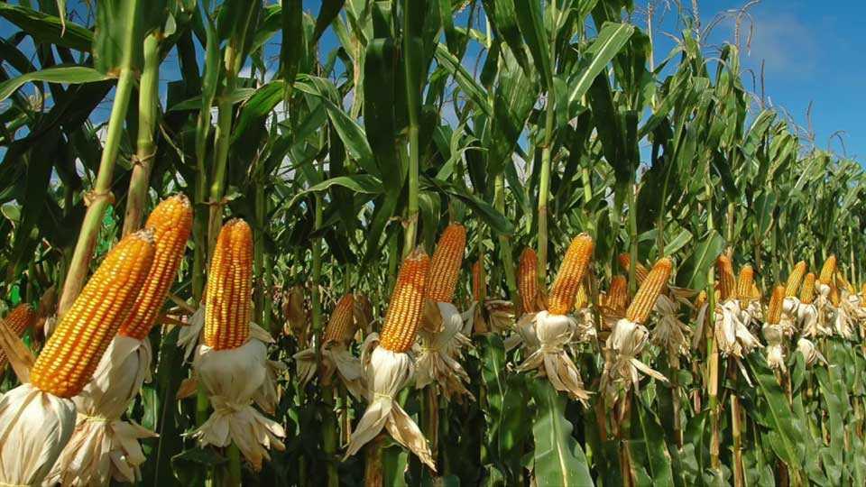 nashik news yeola news farmer issue farmer strike