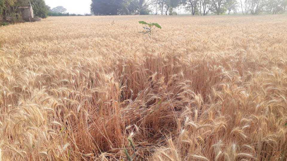 unseasonal rain farmer agriculture disadvantage