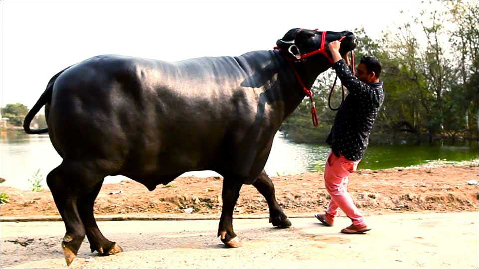 'Yuvraj' This buffalo is worth Rs 9.25 crore