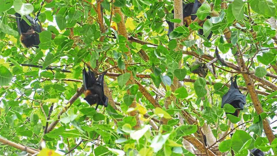 इचलकरंजी -येथील सुंदर बागेतील झाडांवर वटवाघुळ नेहमीच आढळून येतात. (पद्माकर खुरपे -सकाळ छायाचित्र सेवा)
