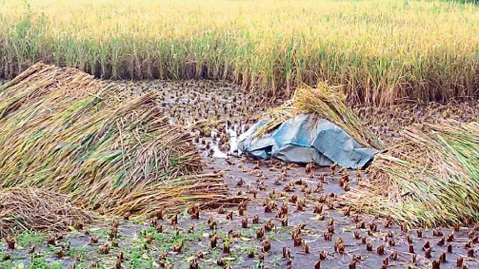 पाली, जि. रायगड - कापणी करुन ठेवलेले भाताचे पीक मुसळधार पावसात भिजले आहे.