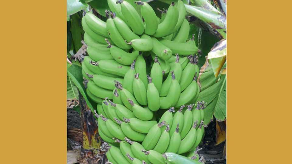 जळगाव - केळीचा तयार झालेले 'बीआरएस २०१३' केळीचे वाण.
