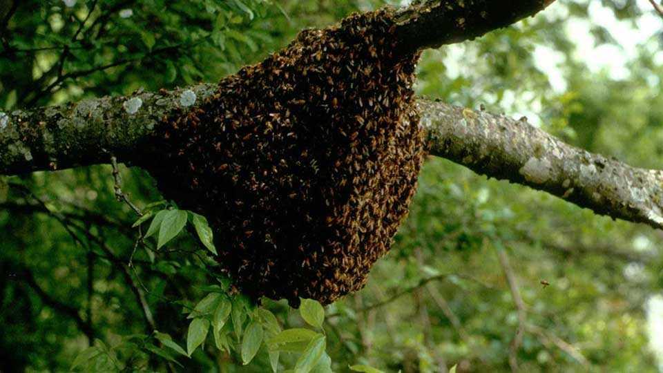 Honeybee attack in Ratnagiri representational image