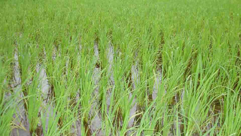 Fear of wasting kharip crops due to lack of rainfall