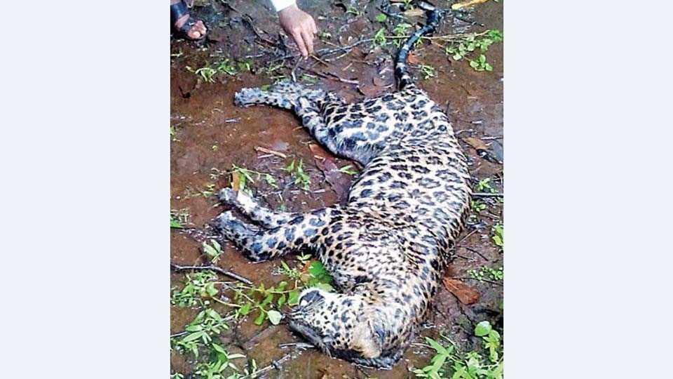 खेड -तालुक्यातील सोनगाव-धामणदेवी या जंगलमय भागात २०१२ च्या मार्च महिन्यात भुकेने मृत्युमुखी पडलेला बिबट्या.
