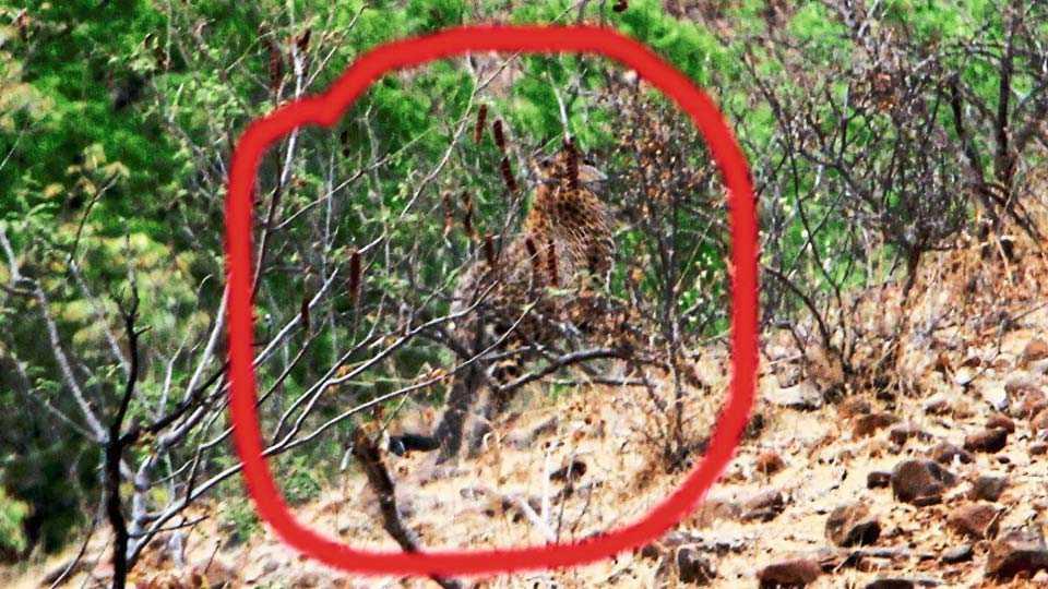 येल्डा (ता. अंबाजोगाई) - परिसरातील शेंडगे वस्ती भागातील झुडपात बसलेला बिबट्या.