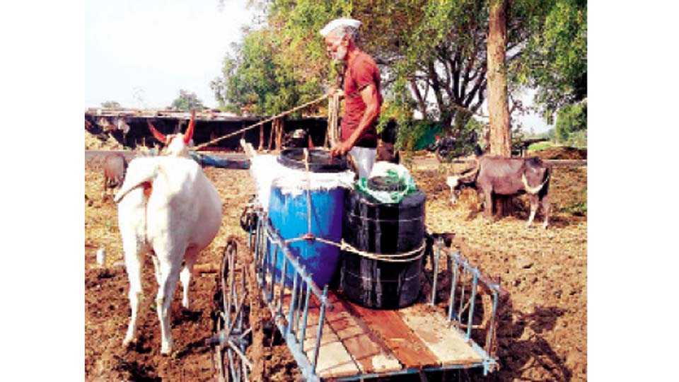 पखरूड (ता. भूम) - बैलगाडीमधून पाणी आणताना शेतकरी उत्तम चव्हाण. शेतात ठेवले पाण्याचे ड्रम कोरडे.