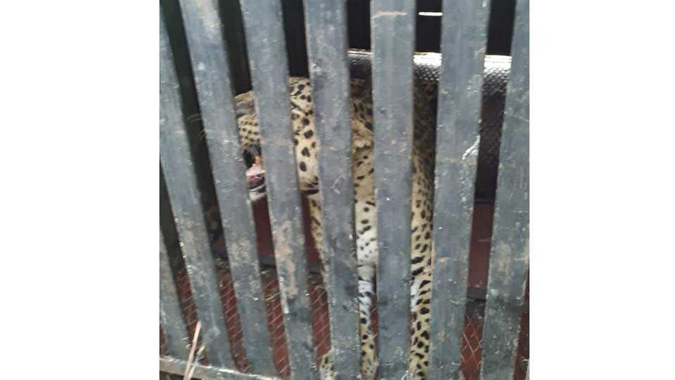 Rajuri forest department carried out leopards