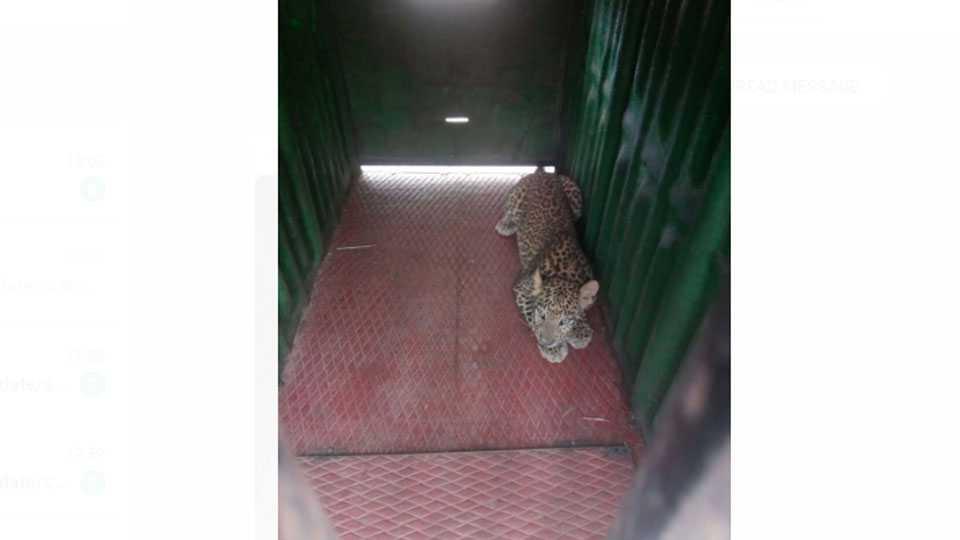 Leopard captured at Mahajanpur