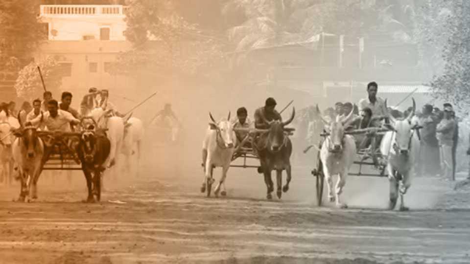 bullock-cart-race
