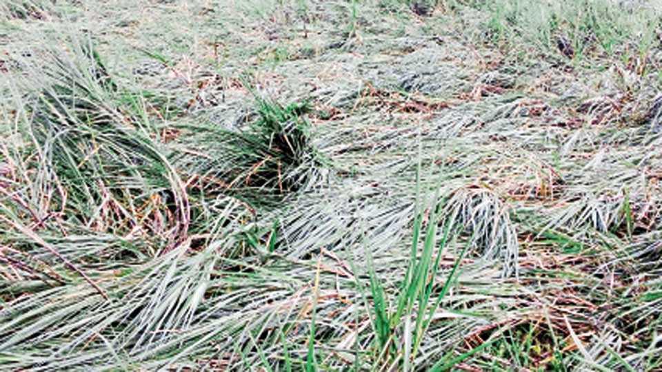 कुरळप - येथे व परिसरात शनिवारी जोरदार पावसाने ऊस पिकाचे झालेले नुकसान.