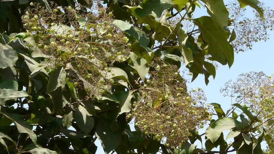 sag tree