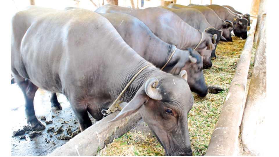 दुधाळ जनावरांना संतुलित आहार दिल्याने त्यांचे आरोग्य आणि दूध उत्पादनात सातत्य राहते..