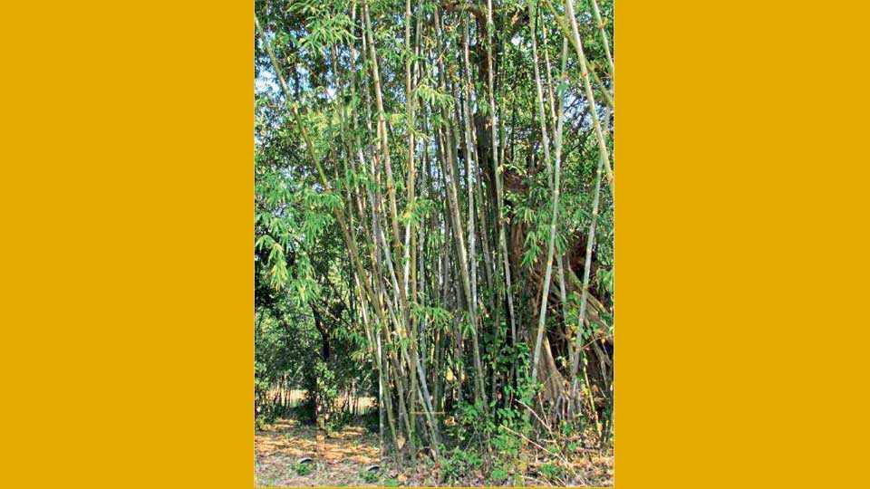 हलक्या जमिनीत बांबू पिकाची वाढ चांगली होते.