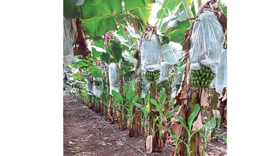 केळी घड स्कर्टिंग बॅगने झाकावा. घडाचा दांडा केळी पानांनी झाकल्यामुळे उन्हाळ्यात घड सटकत नाहीत.