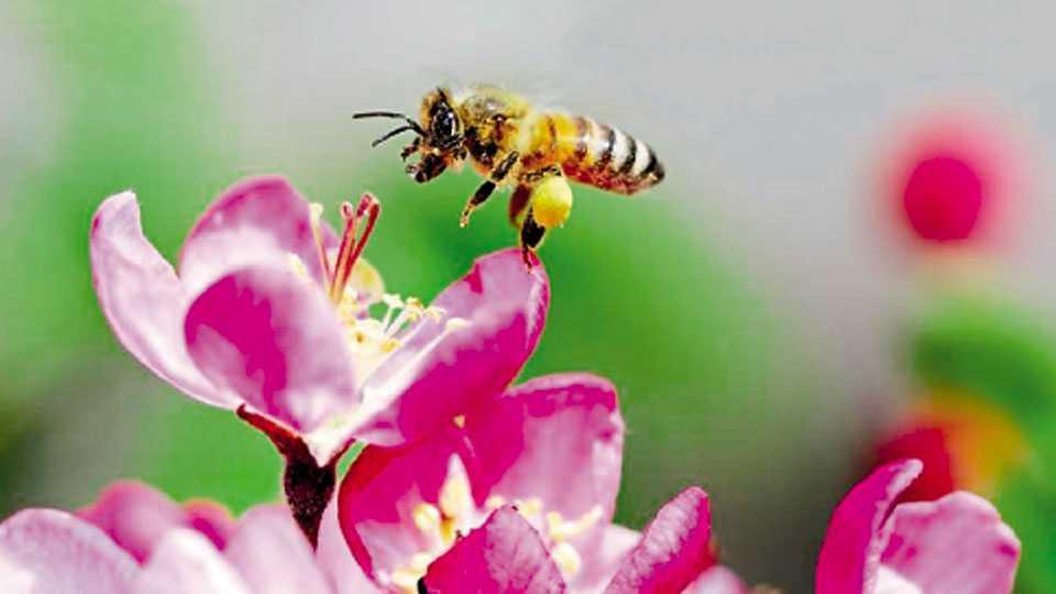 फळधारणेसाठी अनेक पिके मधमाश्यासारख्या कीटकांवर अवलंबून अाहेत.