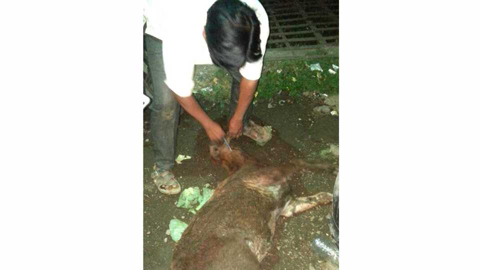 Youths efforts to save the injured and sick calf
