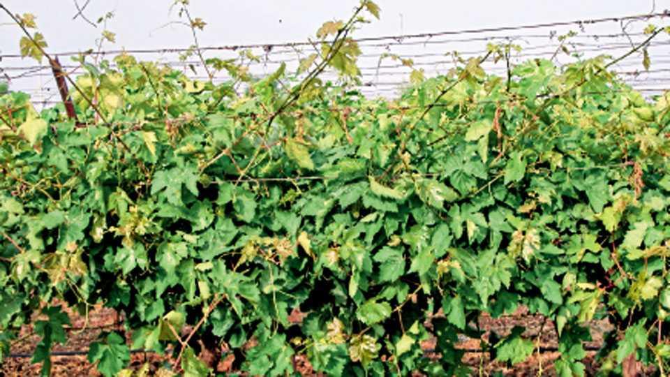 पावसानंतर द्राक्ष वेलीची झालेली जास्तीची वाढ.