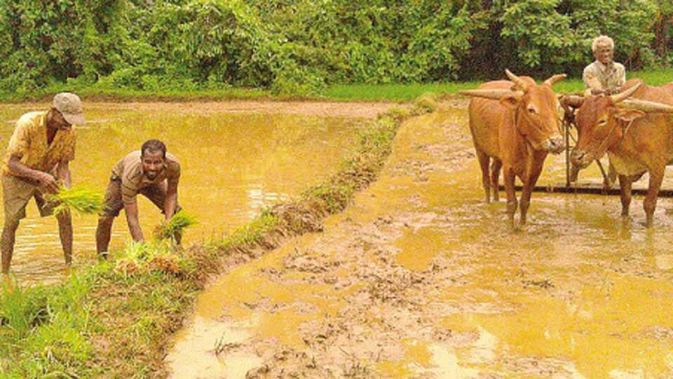 निरवडे - येथे भातशेतीतील अंतिम टप्प्यातील कामे करताना शेतकरी वर्ग.