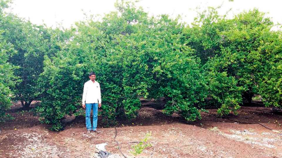 जेऊर (जि. सोलापूर) - येथील लिंबू बागेत बसवराज बोरीकरजगी.