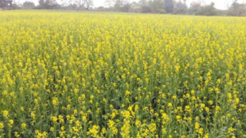 काजीपुरा (ता. चोपडा) - उदय पाटील यांच्या शेतात बहरलेले मोहरीचे पीक.