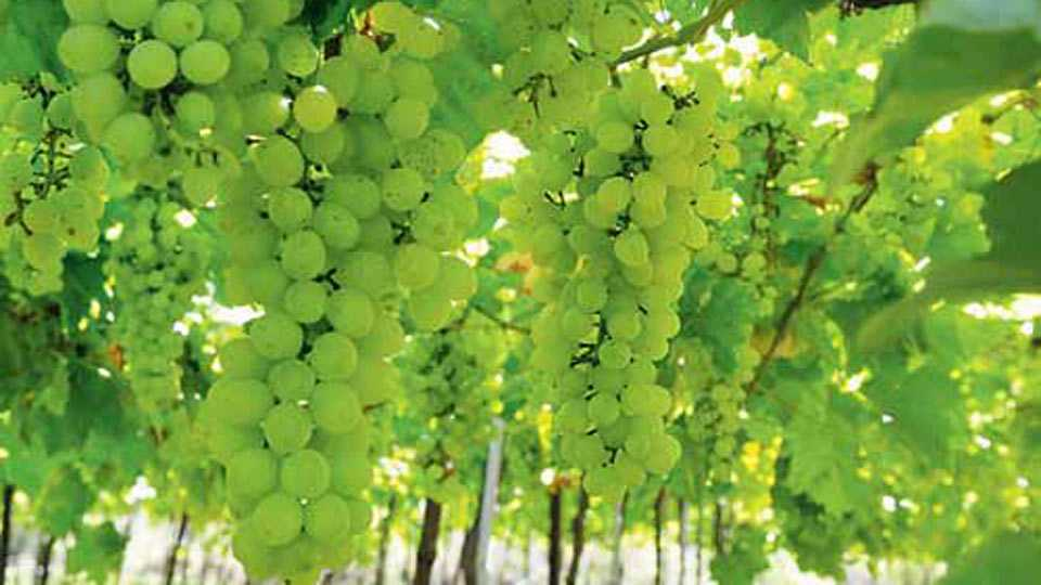 grapes crops need suitable rain
