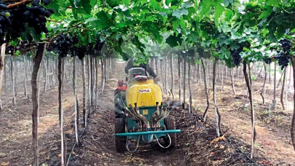 बोरी (ता. इंदापूर) - रोगापासून द्राक्षबागा वाचविण्यासाठी औषध फवारणी करताना शेतकरी.