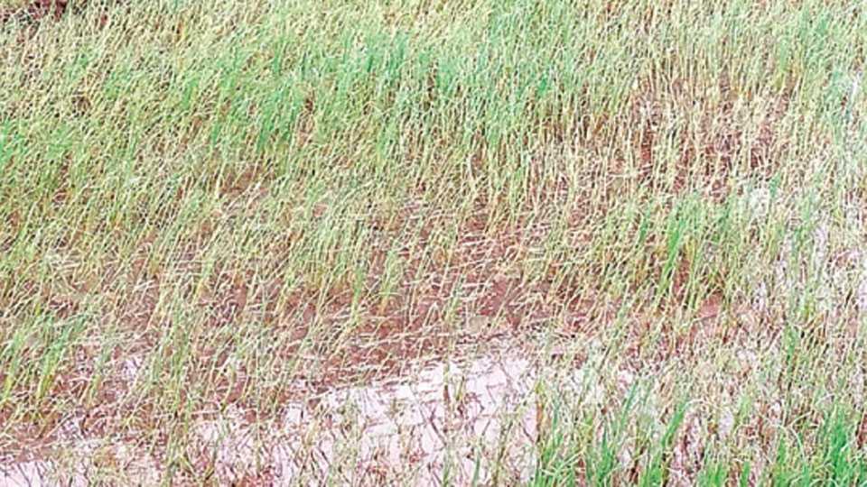 राजापूर - किडीचा प्रादुर्भाव झालेली भातशेती.
