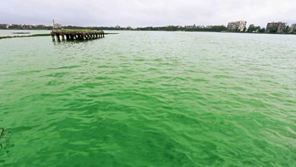 रंकाळ्यातील पाणी हिरवेगार झाल्याने दुर्गधी सुटली आहे.