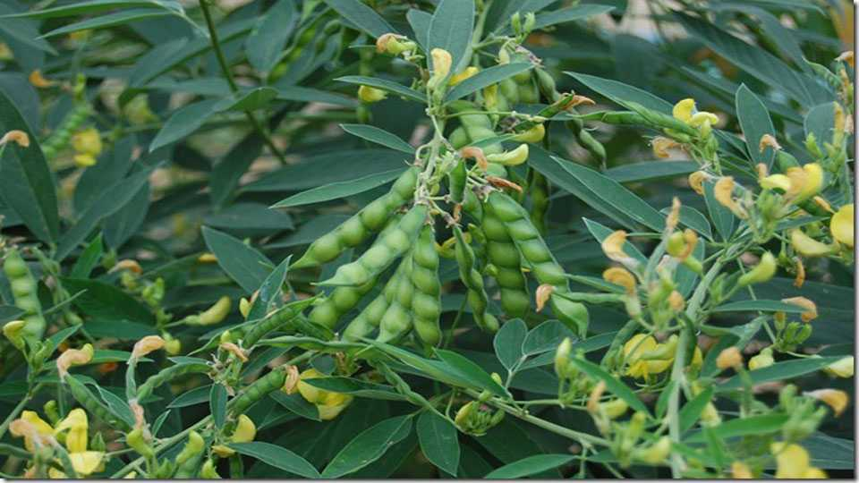 Redgram-plant