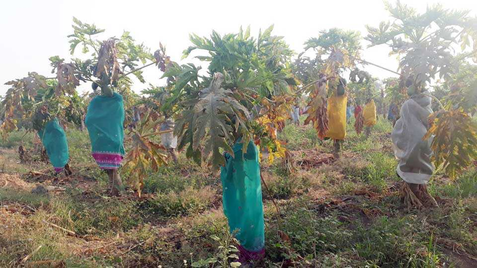 farmers to save orchards from sunburn