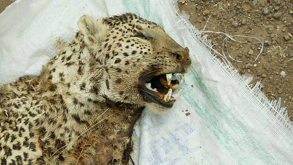 Death of elderly leopard in Yashwantnagar