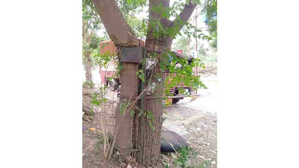The trees have become misery because at old Sangvi
