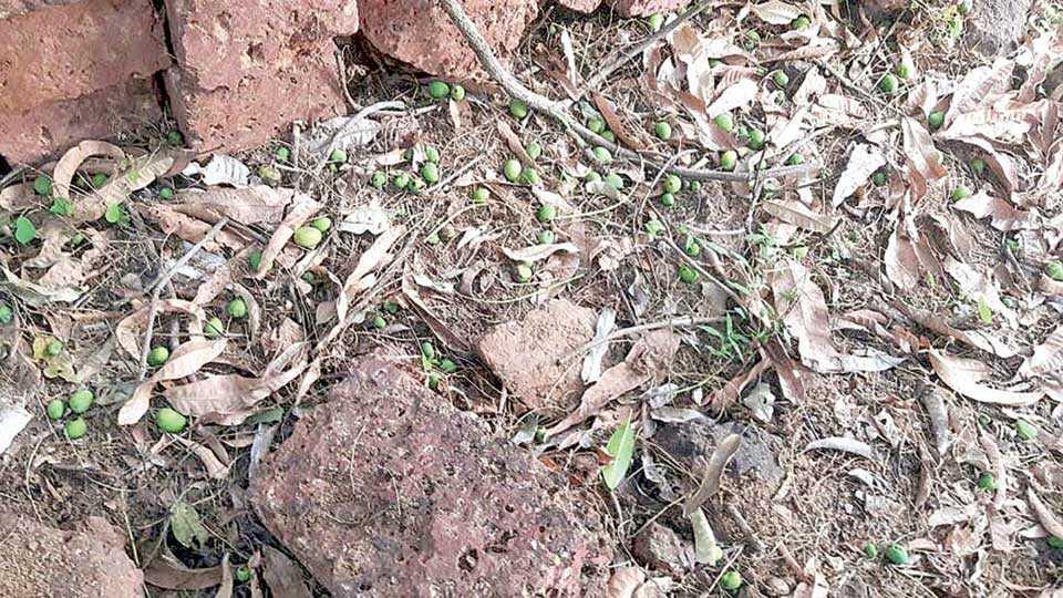 आंबा बागांमध्ये मोठ्या प्रमाणात फळगळ झाली आहे