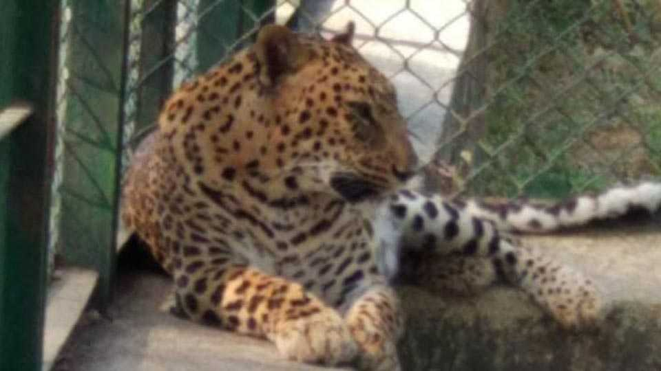 radha leopard