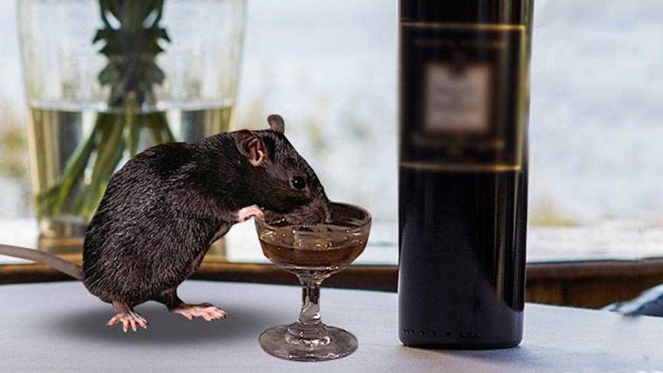 rats 'drink' illegal liquor worth crores in Bihar