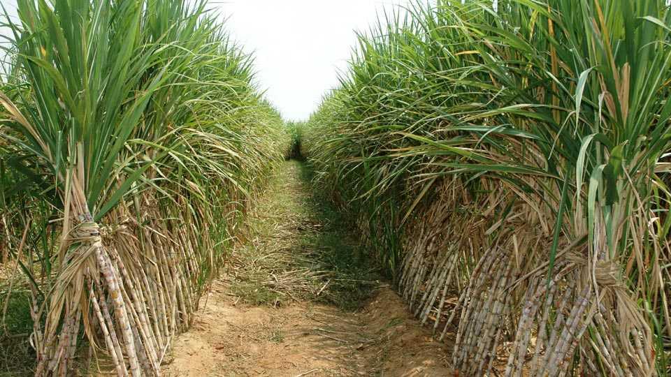 sugarcane-field