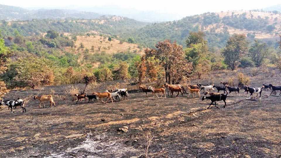 मंडणगड - तुळशी परिसरात लागलेल्या वणव्यांने गवत जळून गेल्याने चाऱ्याच्या शोधात फिरणाऱ्या शेळ्या. (सचिन माळी - सकाळ छायाचित्रसेवा)