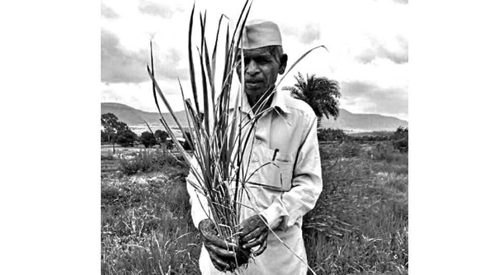 पुणे - फळणे येथील बजाबा मालपोटे त्यांच्या शेतातील भातपिकावर पडलेला करपा दाखविताना.