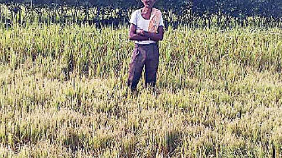 गडचिरोली - रोगांमुळे खराब झालेले धान दाखविताना शेतकरी.