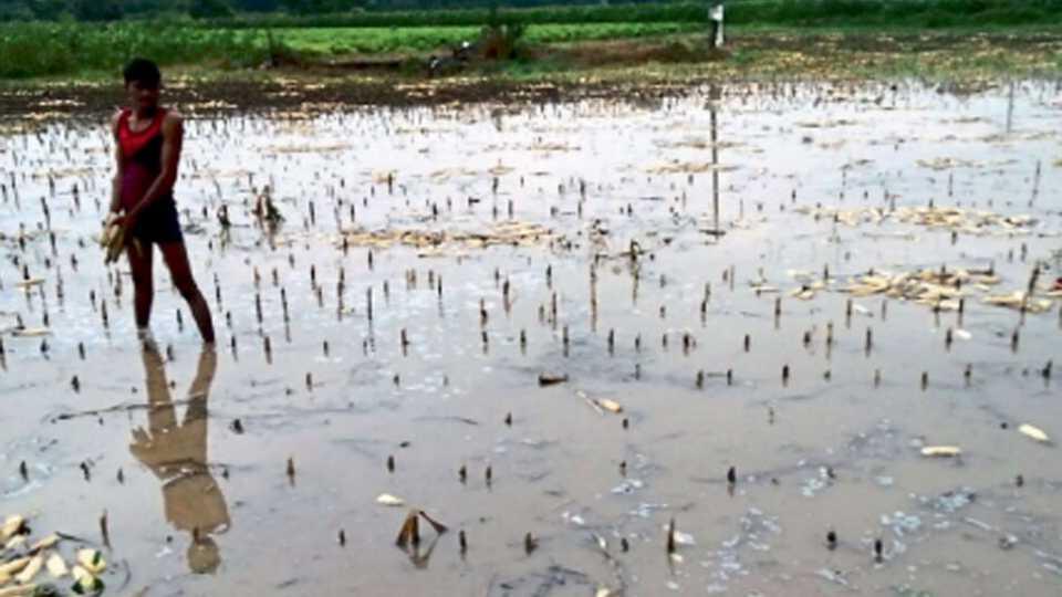 नेवपूर (ता.कन्नड) - सोंगलेल्या मका पीक क्षेत्रात पाणी साचले असून पाण्यावर तरंगलेली कणसे जमा करताना शेतकरी.
