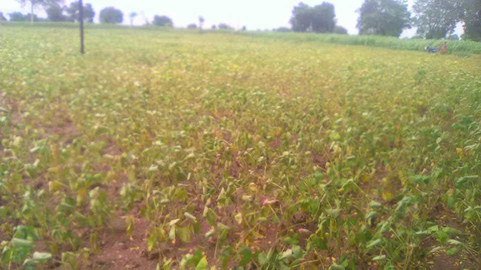 Dhule Taluka Rain remain for Crops