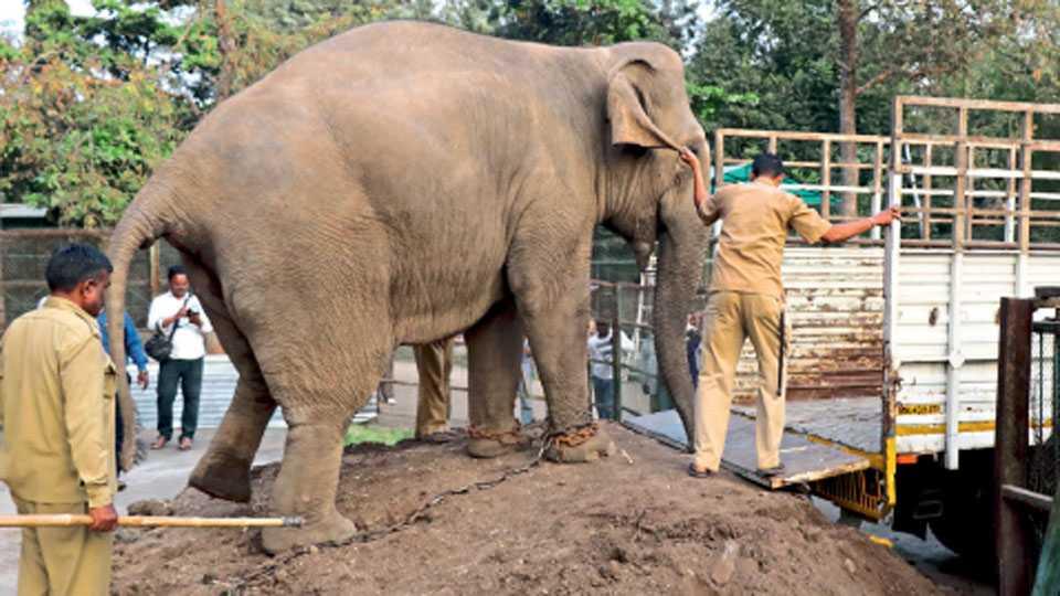 औरंगाबाद - हत्तींना ट्रकमध्ये चढविण्याचे प्रयत्न करताना माहूत.