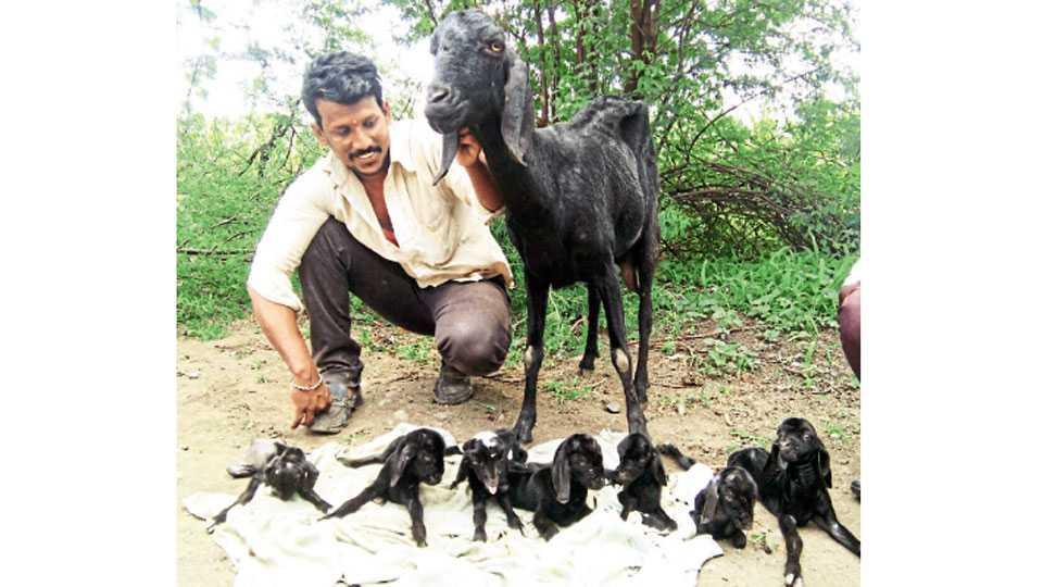पोहरेगाव, जि. लातूर - सात पिलांना जन्म देणाऱ्या शेळीसह श्यामल गायकवाड.