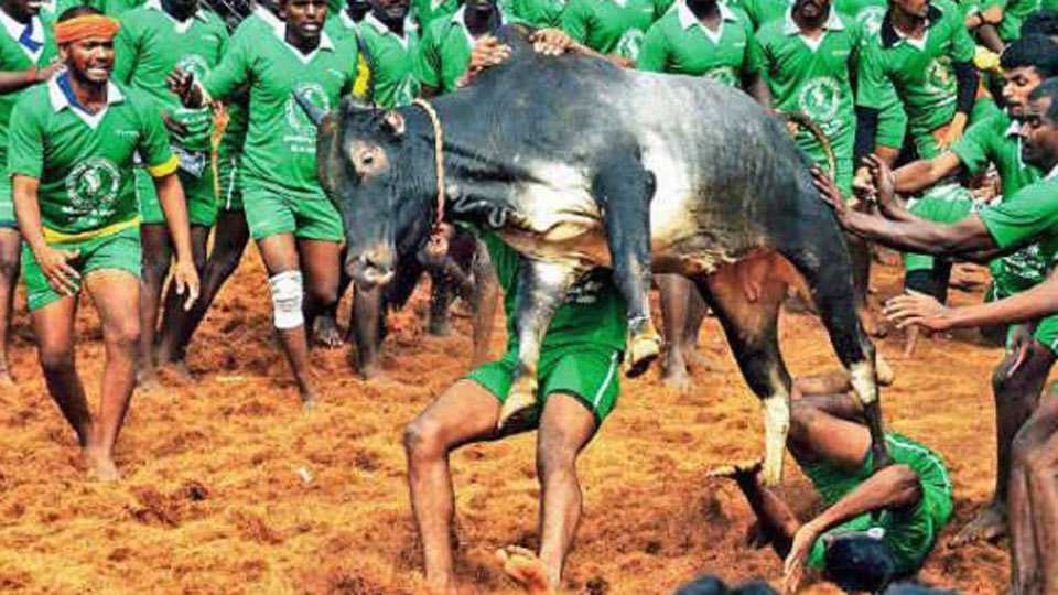 No Jallikattu for TN this year, SC says can't deliver verdict before Pongal