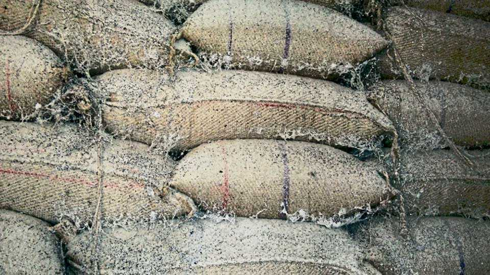 अकाेला - अकाेट बाजार समितीच्या गाेदामात ठेवलेल्या ज्वारीच्या पाेत्यांची अशी अवस्था झाली असून, दुर्गंधी पसरत अाहे.