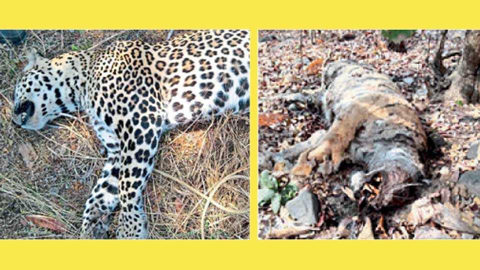 1) भंडारा - पलाडी शिवारात मृतावस्थेत आढळलेला बिबट्या.  2) अमरावती - ढाकणा वनपरिक्षेत्रात आढळलेला वाघाचा मृतदेह.