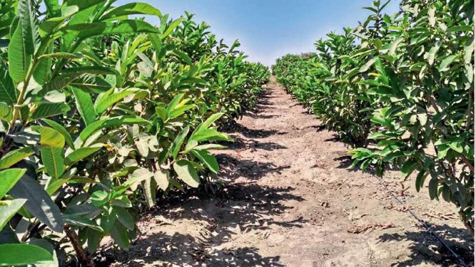 पेरू बागेची स्वच्छता ठेवावी. झाडांना योग्य आकार द्यावा.