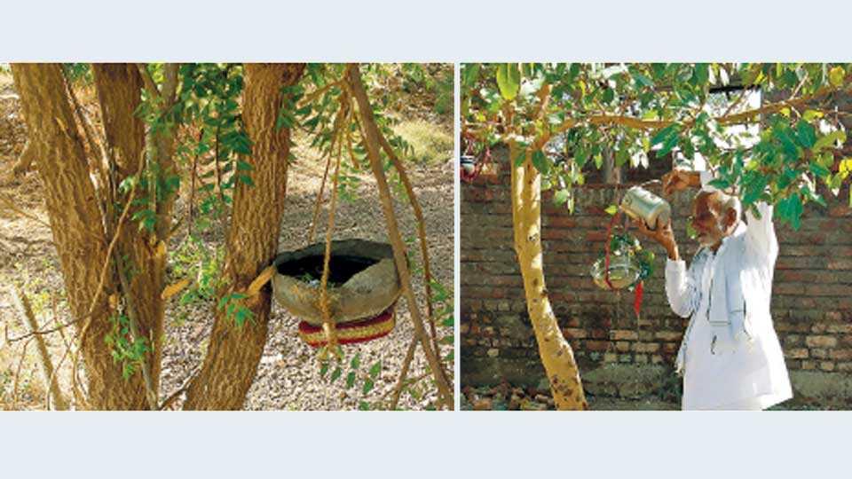 सोलेगाव (ता. गंगापूर) - येथे शेतातील वृक्षांना मातीचे गाडगे बांधून त्यात पक्ष्यांसाठी दाणापाण्याची सोय करण्यात आली आहे. (दुसऱ्या छायाचित्रात) गाडग्यात दाणापाणी टाकताना पवार महाराज.