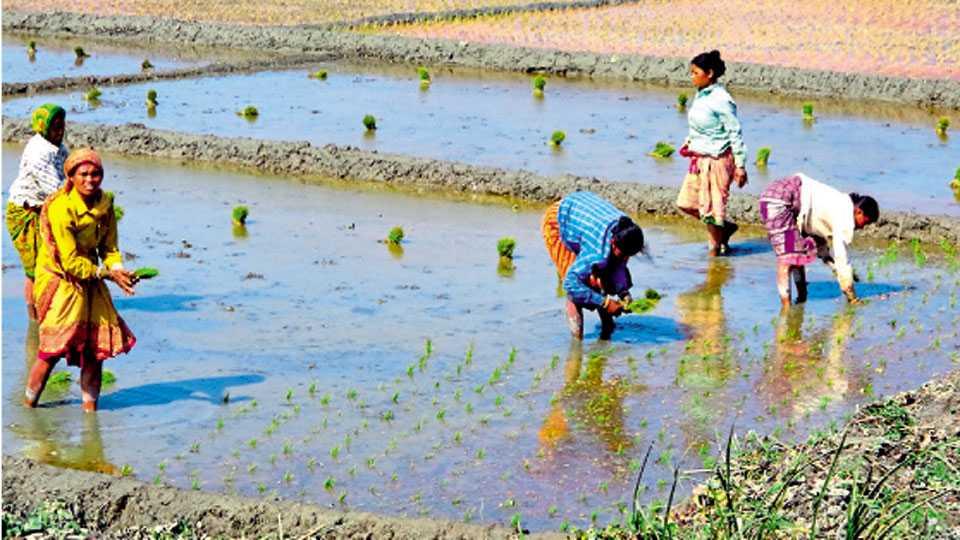 पश्चिम बंगालमधील शेतकरी सेंद्रिय पद्धतीने भाताचे उत्पादन घेतात.